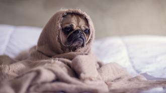 hond op bed - droomt zwanger zijn