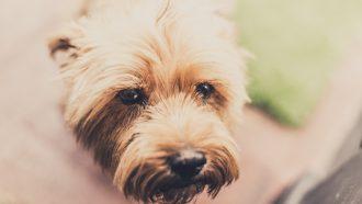 eikenprocessierups-hond
