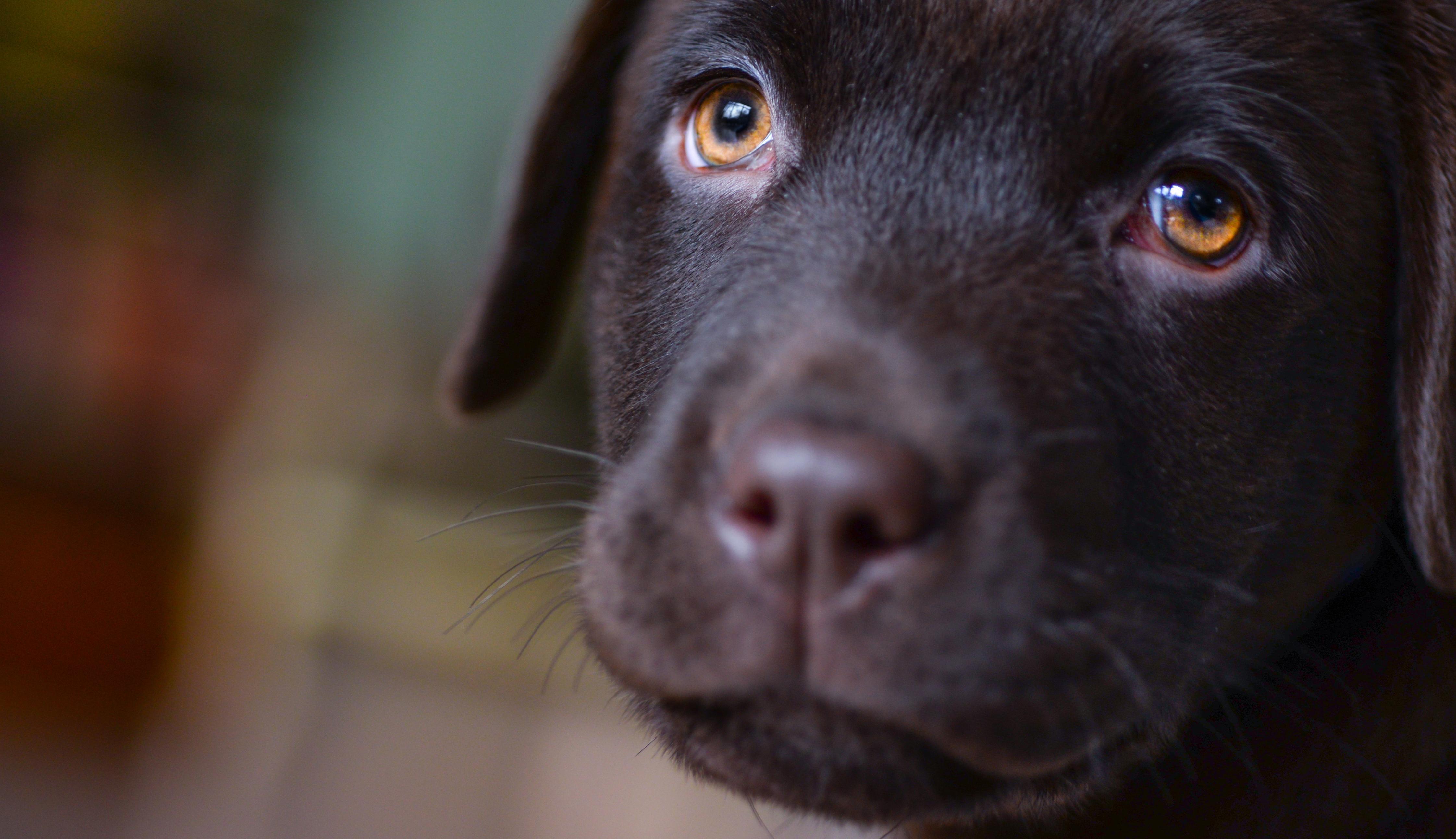 Labrador hondenras