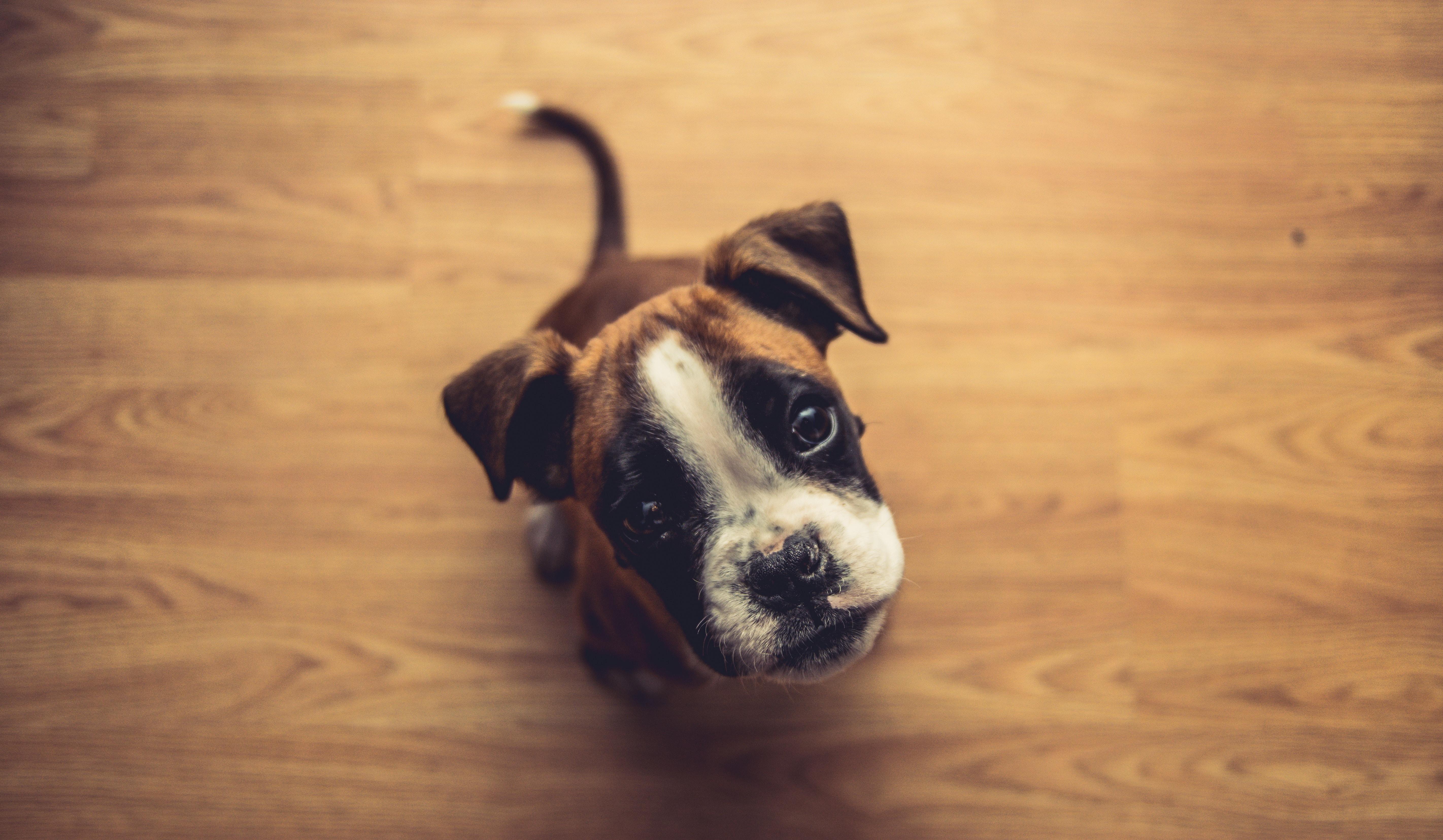 Boxer hondenras