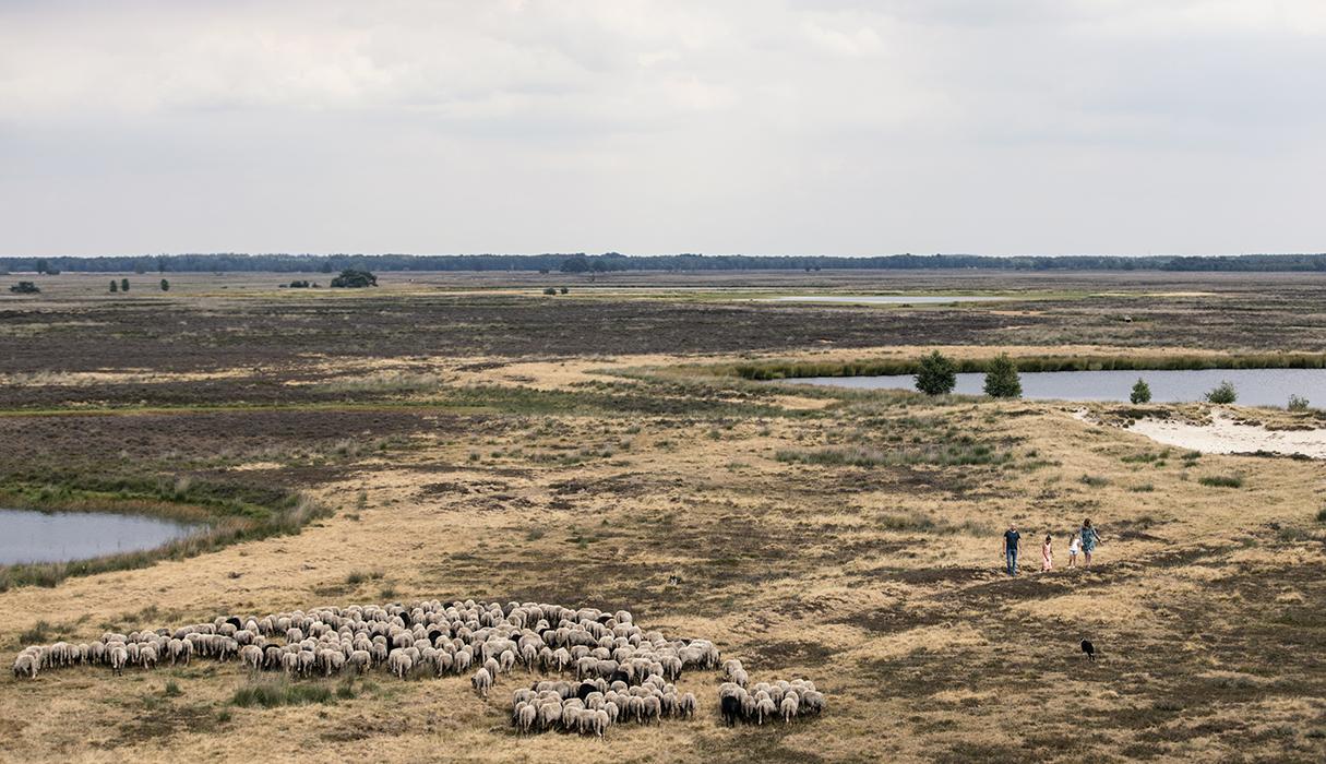 De schaapskudde Ruinen op de heide van Nationaal Park Dwingelerveld